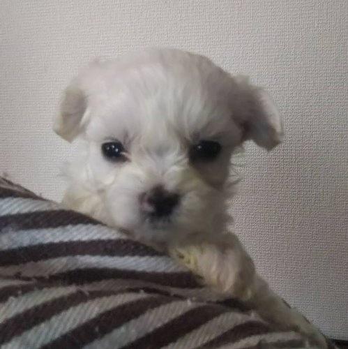 マルチーズの子犬(ID:1257411112)の1枚目の写真/更新日:2020-05-07