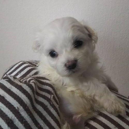 マルチーズの子犬(ID:1257411113)の1枚目の写真/更新日:2020-05-07