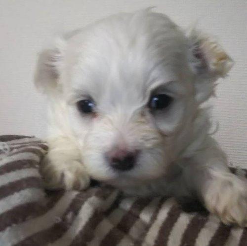 マルチーズの子犬(ID:1257411114)の1枚目の写真/更新日:2020-05-07