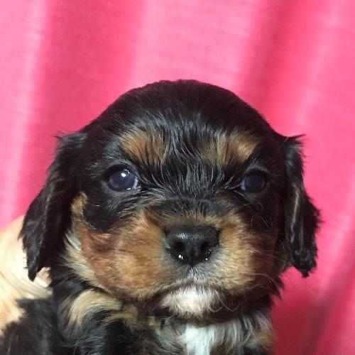 キャバリアの子犬(ID:1257411120)の1枚目の写真/更新日:2020-06-04
