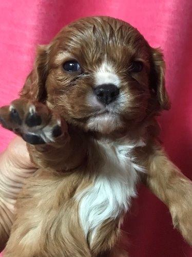 キャバリアの子犬(ID:1257411121)の1枚目の写真/更新日:2020-06-04