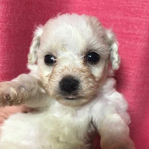 ビションフリーゼの子犬(ID:1257411123)の1枚目の写真/更新日:2020-06-04