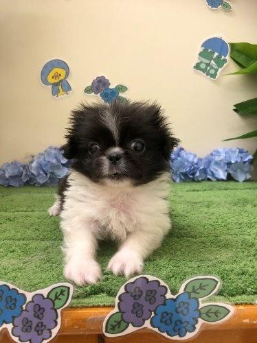 ペキニーズの子犬(ID:1257411124)の1枚目の写真/更新日:2020-06-04