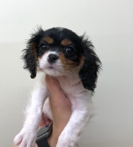 キャバリアの子犬(ID:1257411137)の1枚目の写真/更新日:2020-09-06