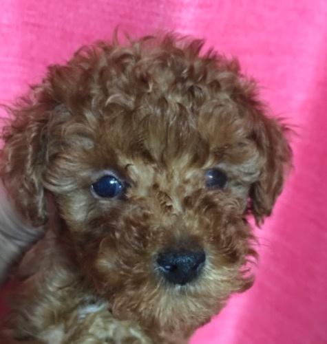 トイプードルの子犬(ID:1257411141)の1枚目の写真/更新日:2020-09-06
