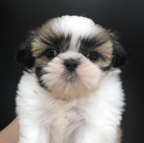 シーズーの子犬(ID:1257411144)の1枚目の写真/更新日:2020-09-06