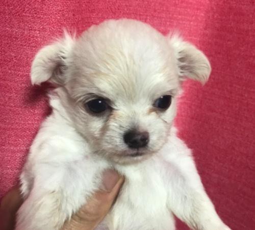 チワワ(ロング)の子犬(ID:1257411145)の1枚目の写真/更新日:2020-09-13