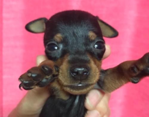 ミニチュアピンシャーの子犬(ID:1257411154)の1枚目の写真/更新日:2020-11-09
