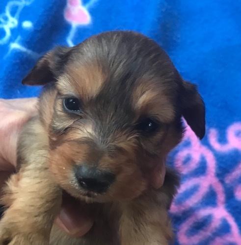ミニチュアダックスフンド(ロング)の子犬(ID:1257411162)の1枚目の写真/更新日:2020-11-09