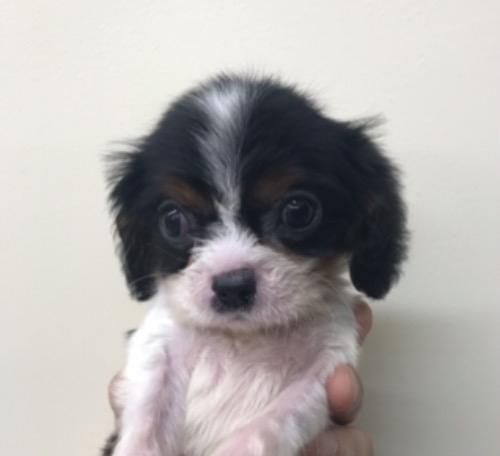 キャバリアの子犬(ID:1257411180)の1枚目の写真/更新日:2021-01-06