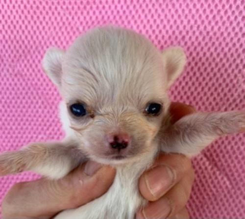 チワワ(ロング)の子犬(ID:1257411192)の1枚目の写真/更新日:2021-03-16