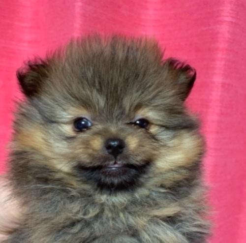 ポメラニアンの子犬(ID:1257411195)の1枚目の写真/更新日:2021-03-27