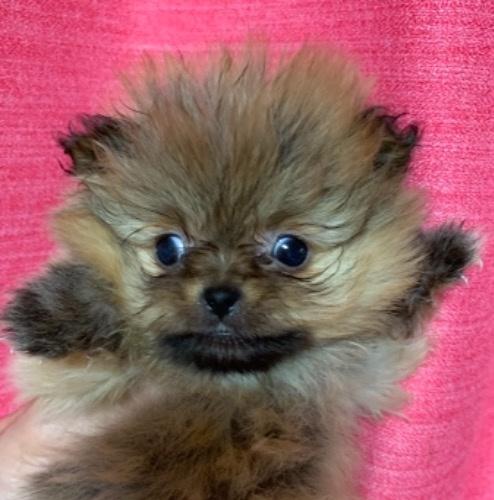 ポメラニアンの子犬(ID:1257411196)の1枚目の写真/更新日:2021-03-27