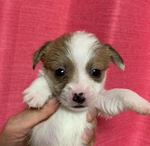 ジャックラッセルテリアの子犬(ID:1257411198)の1枚目の写真/更新日:2021-03-24