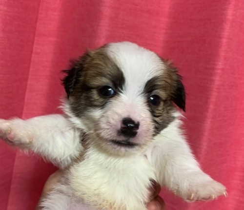 ジャックラッセルテリアの子犬(ID:1257411200)の1枚目の写真/更新日:2021-03-24