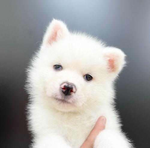 秋田犬の子犬(ID:1257411202)の1枚目の写真/更新日:2021-05-08