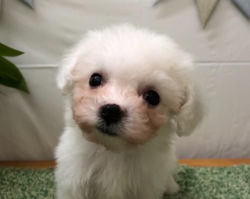 ビションフリーゼの子犬(ID:1257411208)の1枚目の写真/更新日:2021-05-11