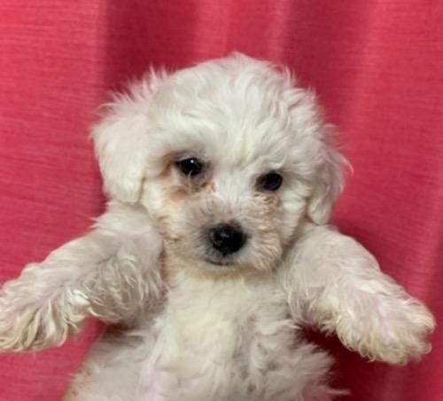 ビションフリーゼの子犬(ID:1257411209)の1枚目の写真/更新日:2021-05-11