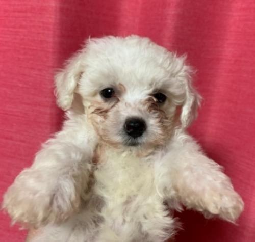 ビションフリーゼの子犬(ID:1257411210)の1枚目の写真/更新日:2021-05-11
