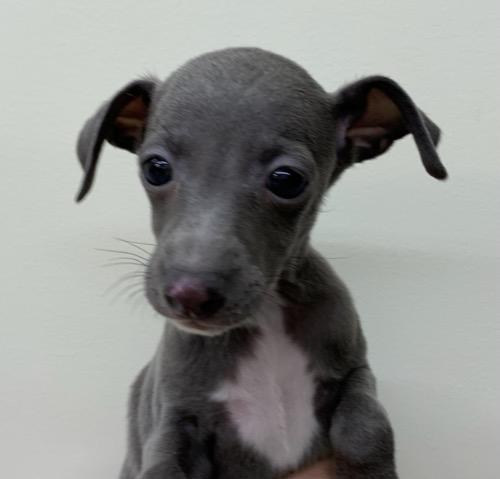 イタリアングレーハウンドの子犬(ID:1257411213)の1枚目の写真/更新日:2021-06-02