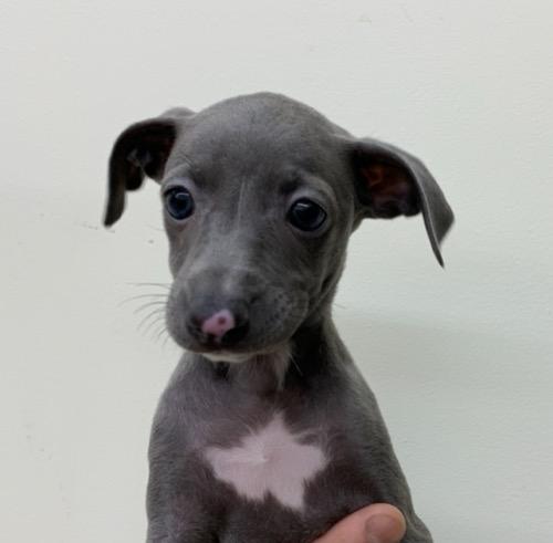 イタリアングレーハウンドの子犬(ID:1257411214)の1枚目の写真/更新日:2021-06-02