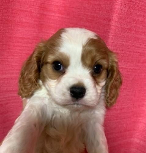 キャバリアの子犬(ID:1257411216)の1枚目の写真/更新日:2021-06-12