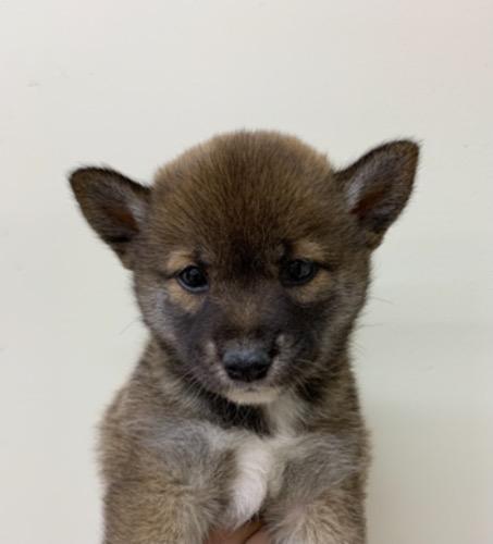 柴犬の子犬(ID:1257411223)の1枚目の写真/更新日:2021-08-12