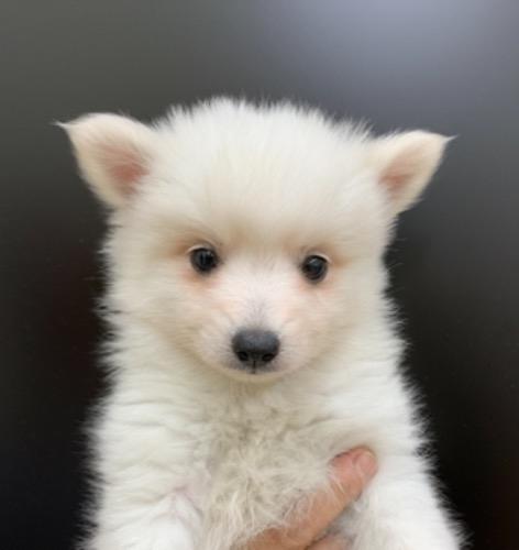 日本スピッツの子犬(ID:1257411224)の1枚目の写真/更新日:2021-08-12