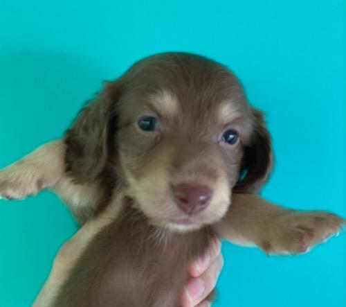 ミニチュアダックスフンド(ロング)の子犬(ID:1257411225)の1枚目の写真/更新日:2021-08-21