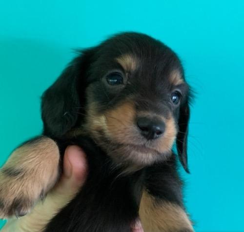 ミニチュアダックスフンド(ロング)の子犬(ID:1257411226)の1枚目の写真/更新日:2021-08-21
