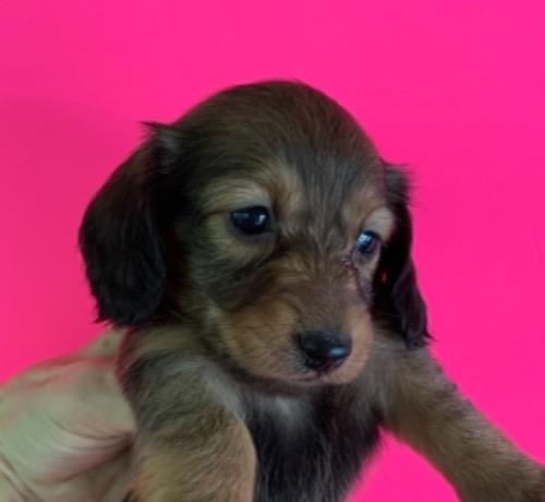 ミニチュアダックスフンド(ロング)の子犬(ID:1257411227)の1枚目の写真/更新日:2021-08-21
