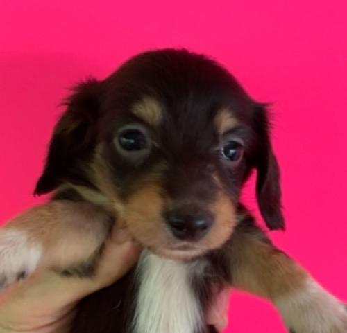 ミニチュアダックスフンド(ロング)の子犬(ID:1257411229)の1枚目の写真/更新日:2021-08-21
