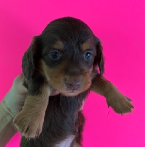 ミニチュアダックスフンド(ロング)の子犬(ID:1257411231)の1枚目の写真/更新日:2021-08-24