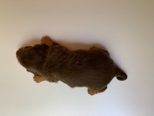 ミニチュアダックスフンド(ロング)の子犬(ID:1257411231)の2枚目の写真/更新日:2021-08-21