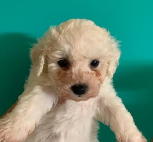 ビションフリーゼの子犬(ID:1257411232)の1枚目の写真/更新日:2021-08-24