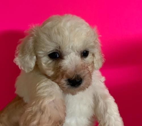 ビションフリーゼの子犬(ID:1257411233)の1枚目の写真/更新日:2021-08-24