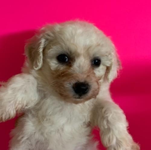 ビションフリーゼの子犬(ID:1257411234)の1枚目の写真/更新日:2021-08-24