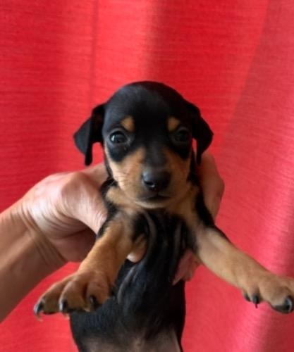 ミニチュアピンシャーの子犬(ID:1257411237)の1枚目の写真/更新日:2021-08-21