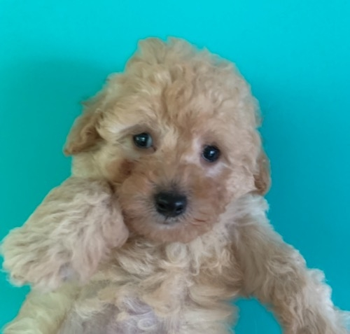 トイプードルの子犬(ID:1257411240)の1枚目の写真/更新日:2021-08-24