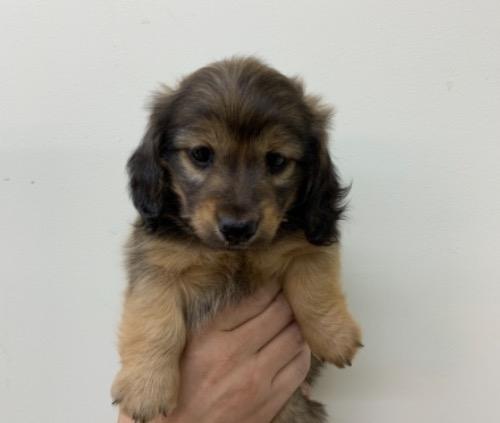 ミニチュアダックスフンド(ロング)の子犬(ID:1257411244)の1枚目の写真/更新日:2021-10-12