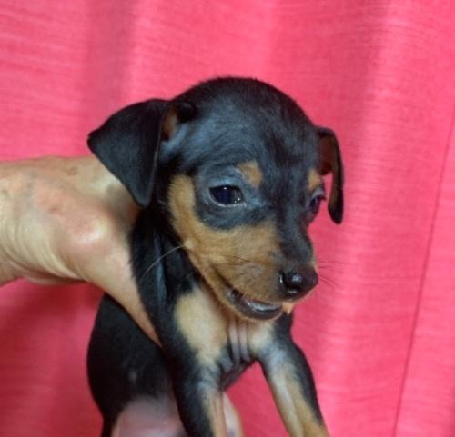 ミニチュアピンシャーの子犬(ID:1257411247)の1枚目の写真/更新日:2021-10-19