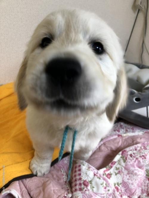 ゴールデンレトリバーの子犬(ID:1257511007)の1枚目の写真/更新日:2017-03-21