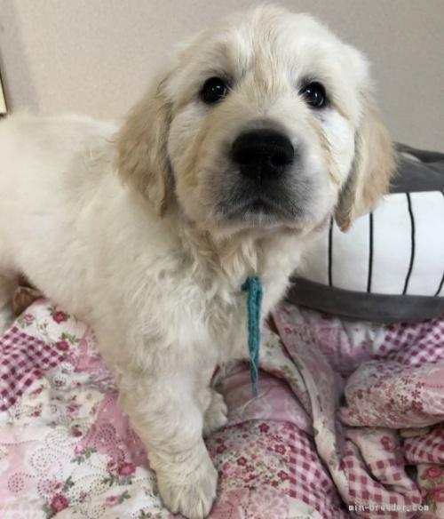 ゴールデンレトリバーの子犬(ID:1257511007)の2枚目の写真/更新日:2017-03-21