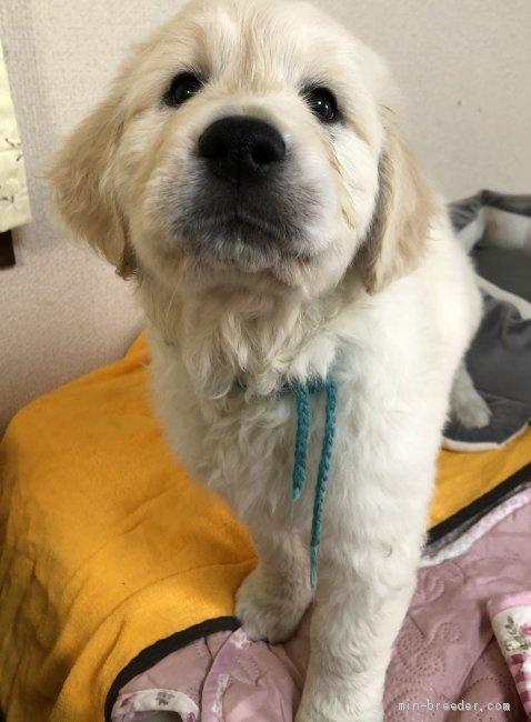 ゴールデンレトリバーの子犬(ID:1257511007)の3枚目の写真/更新日:2017-05-11