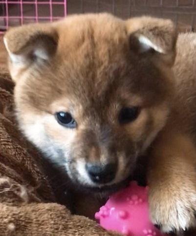 柴犬の子犬(ID:1257611007)の1枚目の写真/更新日:2018-03-14