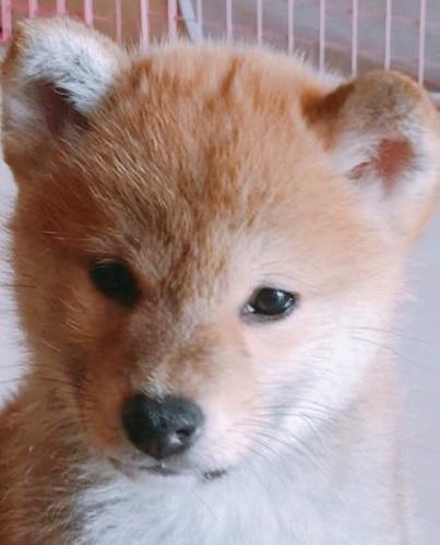 柴犬の子犬(ID:1257611008)の1枚目の写真/更新日:2018-03-14