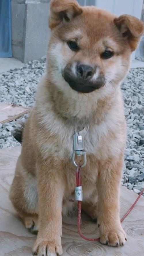 柴犬の子犬(ID:1257611009)の1枚目の写真/更新日:2018-04-18