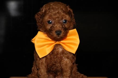 トイプードルの子犬(ID:1257811009)の1枚目の写真/更新日:2016-10-23