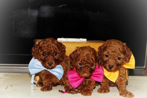 トイプードルの子犬(ID:1257811009)の3枚目の写真/更新日:2016-10-23