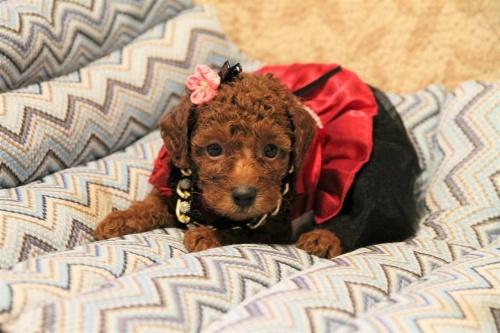 トイプードルの子犬(ID:1257811011)の1枚目の写真/更新日:2017-07-23